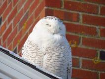微笑在阳光下的休息的多雪的猫头鹰。 库存图片