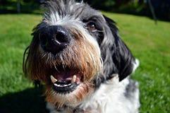 微笑对照相机的狗 免版税库存图片