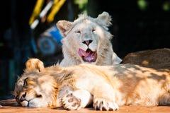 微笑对照相机的美丽的非洲狮子 免版税库存图片