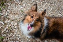 微笑对照相机的设德蓝群岛牧羊犬 库存图片