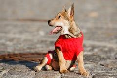 微笑愉快的狗户外 显示舌头,耳朵钱包的狗 免版税库存图片