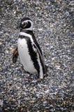 微笑的企鹅,小猎犬海峡,乌斯怀亚,阿根廷 库存照片