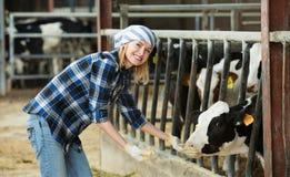 微笑的兽医技术员哺养的母牛画象  库存图片