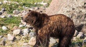 微笑的北美灰熊 库存照片