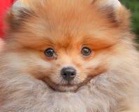 微笑的可爱的棕色蓬松pomeranian狗,与愉快的面孔的自然动物在背景 库存照片