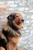 微笑的大牧羊犬画象 图库摄影