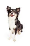 微笑的奇瓦瓦狗被混合的品种狗开会 图库摄影