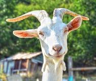 微笑的山羊画象  库存照片