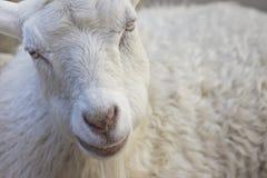 微笑的山羊 图库摄影