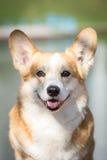 微笑的彭布罗克角威尔士小狗画象 库存图片