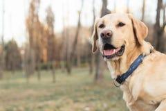 微笑的拉布拉多狗在城市公园 向量例证
