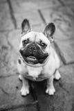 微笑的法国牛头犬 图库摄影