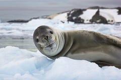 微笑的海狮在南极洲 库存照片