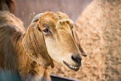 微笑的滑稽的山羊 一只棕色山羊的画象 选择聚焦 库存照片