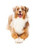 微笑的澳大利亚牧羊犬放置 免版税库存照片