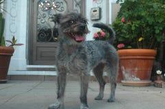 微笑的灰色硬毛的Schnazer狗混合品种小狗 免版税库存图片