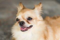 微笑的狗奇瓦瓦狗等待他的所有者 免版税库存图片