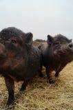 微笑的猪 免版税库存图片