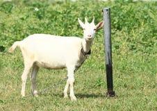 微笑的白色山羊 免版税库存照片