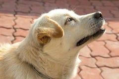 微笑的白色泰国狗 免版税库存照片