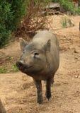 微笑的野生猪 免版税图库摄影