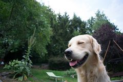 微笑的金毛猎犬在庭院里 免版税库存照片