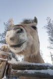 微笑的马在拉普兰 免版税库存图片