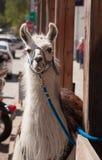 微笑的骆马 免版税库存图片