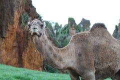 微笑的骆驼 库存图片