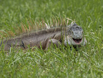 微笑的鬣鳞蜥 库存图片