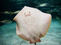 微笑的黄貂鱼 库存照片
