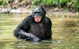 微笑的黑猩猩倭黑猩猩在水中 库存图片