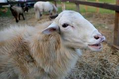 微笑的绵羊 免版税库存图片
