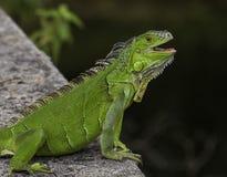 微笑的绿色鬣鳞蜥 免版税库存图片