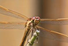 微笑的蜻蜓 图库摄影