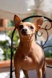微笑的Dobermann短毛猎犬 库存图片