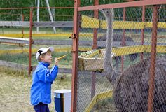 微笑窘迫的男孩喂养在笼子的非洲驼鸟 免版税图库摄影