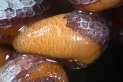微观发芽的种子鸦片罂粟罂粟 由显微镜弄湿射击 麻醉,药物鸦片制剂和食用植物 库存图片
