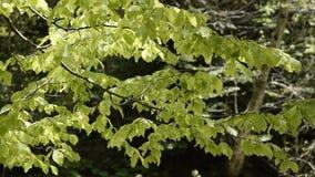 微风接近的看法在树枝的 股票录像