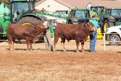 德克斯特公牛是主角在竞技场由经理 免版税库存照片