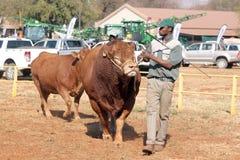 德克斯特公牛是主角在竞技场由经理 库存图片