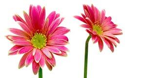 德兰士瓦雏菊在白色背景中 库存照片