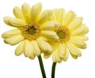 德兰士瓦雏菊在白色背景中 免版税图库摄影