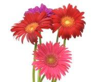 德兰士瓦雏菊在白色背景中 免版税库存照片