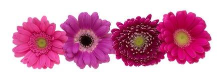 德兰士瓦雏菊的头状花序 图库摄影