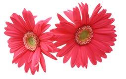 德兰士瓦雏菊的头状花序 库存图片