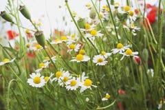 德国、北莱茵-威斯特伐利亚州、春黄菊和鸦片,野花 图库摄影