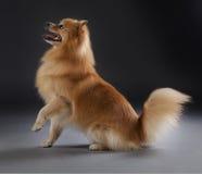 德国中等波美丝毛狗 免版税库存图片