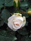 德国人玫瑰叫Kosmos,养殖由Kordes 免版税图库摄影