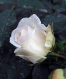 德国人玫瑰叫Kosmos,养殖由Kordes 库存图片